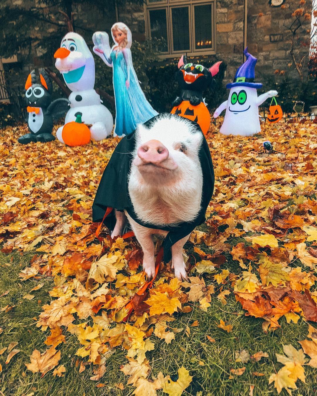 Cảm giác ghen tị là khi bạn phải đi làm vào thứ 2 còn chú lợn này lại được du lịch vòng quanh thế giới, đã vậy còn có hẳn 100k người theo dõi trên MXH - Ảnh 12.