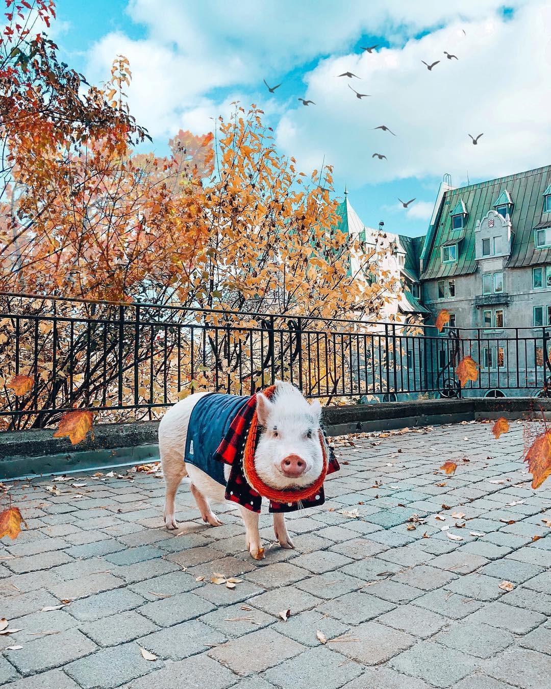 Cảm giác ghen tị là khi bạn phải đi làm vào thứ 2 còn chú lợn này lại được du lịch vòng quanh thế giới, đã vậy còn có hẳn 100k người theo dõi trên MXH - Ảnh 13.