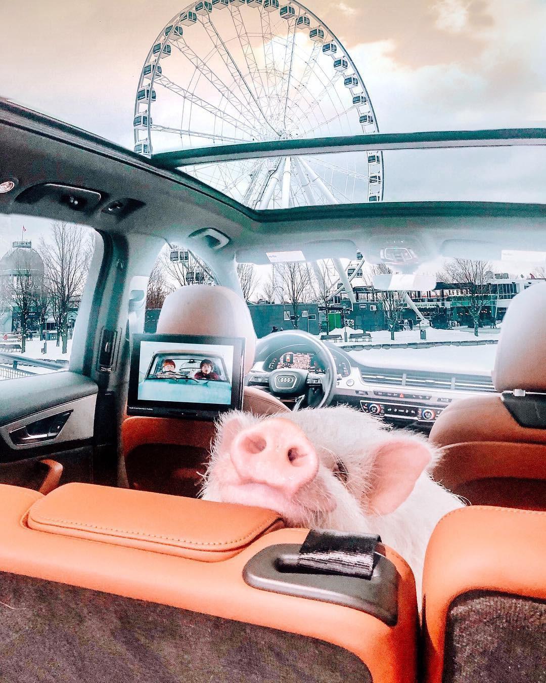 Cảm giác ghen tị là khi bạn phải đi làm vào thứ 2 còn chú lợn này lại được du lịch vòng quanh thế giới, đã vậy còn có hẳn 100k người theo dõi trên MXH - Ảnh 15.