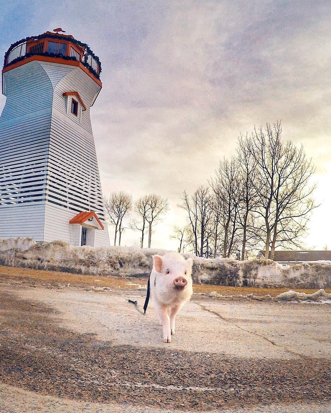 Cảm giác ghen tị là khi bạn phải đi làm vào thứ 2 còn chú lợn này lại được du lịch vòng quanh thế giới, đã vậy còn có hẳn 100k người theo dõi trên MXH - Ảnh 3.