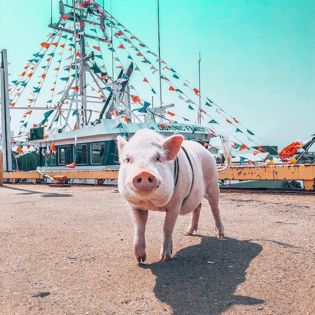 Cảm giác ghen tị là khi bạn phải đi làm vào thứ 2 còn chú lợn này lại được du lịch vòng quanh thế giới, đã vậy còn có hẳn 100k người theo dõi trên MXH - Ảnh 8.