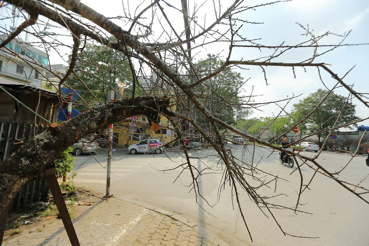 Vượt 300km về Hà Nội, đào rừng không lá không hoa hét giá khó tin gần 200 triệu đồng - Ảnh 3.
