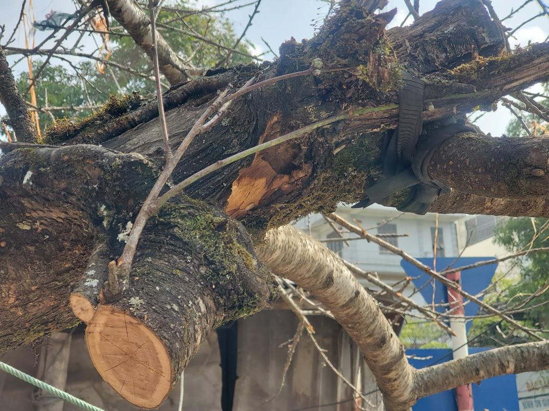 Vượt 300km về Hà Nội, đào rừng không lá không hoa hét giá khó tin gần 200 triệu đồng - Ảnh 5.
