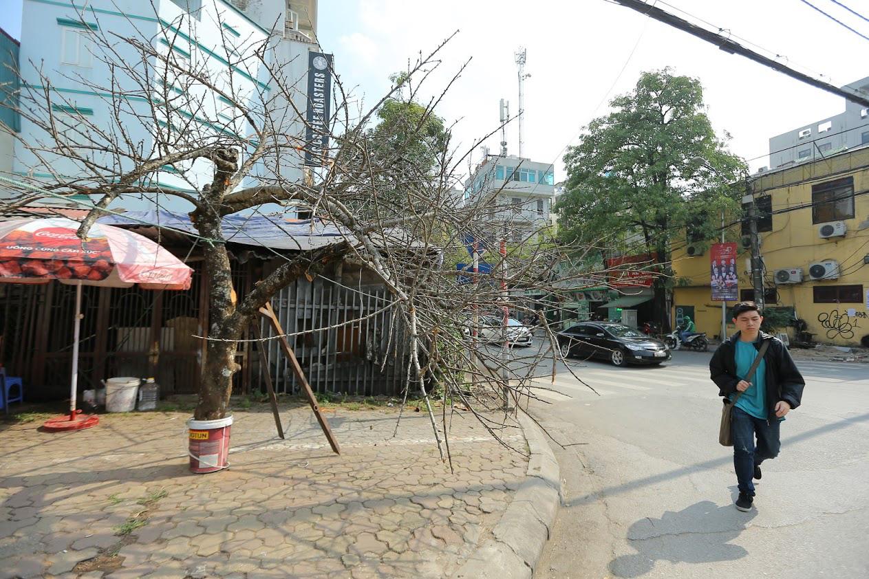 Vượt 300km về Hà Nội, đào rừng không lá không hoa hét giá khó tin gần 200 triệu đồng - Ảnh 1.