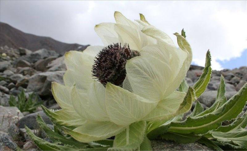 Bông hoa cổ tích 7 năm mới nở được rao bán 100 triệu đồng/kg - Ảnh 1.