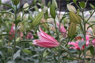 Hoa ly hàng xịn giảm giá 'sập sàn' rẻ như rau, 7.000 đồng/cành sau Tết