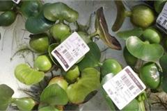 Cây bèo giá 90.000 đồng, hến 40.000 đồng/con - những thứ 'rẻ như cho' ở Việt Nam, ở Nhật lại đắt đỏ