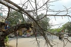 Vượt 300km về Hà Nội, đào rừng không lá không hoa hét giá gần 200 triệu