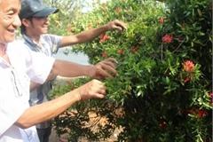 Loại cây trước làm hàng rào ở Việt Nam, giờ trồng làm cảnh, bán giá chục triệu/cặp