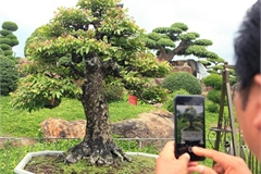 Đại gia Thái Nguyên dốc tiền khủng chơi dàn bonsai khế, coi như báu vật trong nhà