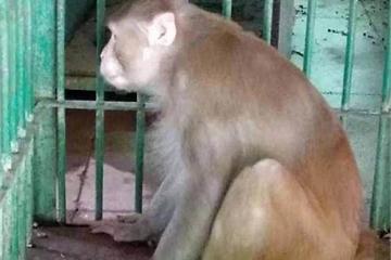 Khỉ nghiện rượu giết chết 1 người, làm 250 người khác bị thương