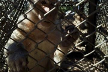 Đe dọa người dân, hàng trăm con khỉ bị thắt ống dẫn tinh, cắt buồng trứng
