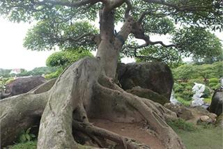 Choáng ngợp cây sung tiền tỷ trên núi đá quý nhân tạo của đại gia Thái Nguyên