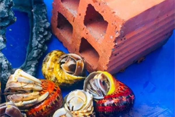 Thứ hải sản có tên rùng rợn, không ăn được, 2-3 triệu/con dân Việt vẫn mua ầm ầm