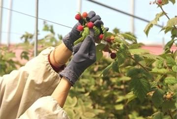 Thứ mọc dại ven đường, dân Việt mang về trồng ôm bạc tỷ