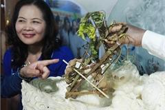 Sâm Ngọc Linh gần 100 tuổi giá nửa tỷ xuất hiện tại Hà Nội