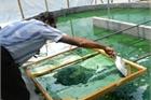 """Thứ nước """"thần kỳ"""" xanh lét ở Việt Nam, nhiều người nuôi trồng bán 1 triệu/kg"""