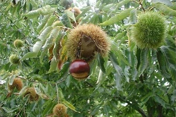 Thứ mọc hoang đến mùa rụng đầy gốc, dân nhặt về bán đắt hàng như tôm tươi
