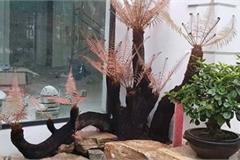 Loài cây từ thời cổ đại, mọc dại bờ tường, nay làm cảnh bán cả chục triệu