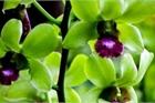 Loại hoa cực hiếm, 5 năm mới nở, gần 5 tỷ/cây, đại gia cũng khó mua