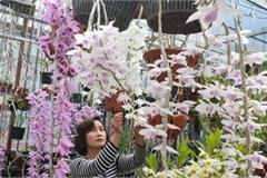 Trăm loại lan rừng tiền tỷ khoe hoa đẹp ở phố núi Mường Thanh