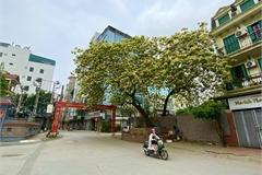 Cây hoa 'báu vật' của làng Đình Thôn, 'độc nhất vô nhị' ở Hà Nội
