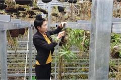 Ngắm 1 vạn giò phong lan đẹp mê mẩn của kiều nữ 9X tỉnh Điện Biên