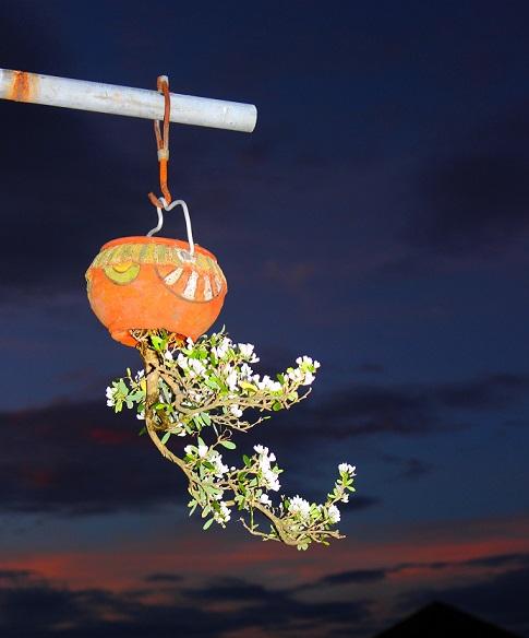 "ngam dan bonsai ""moc nguoc"" cuc doc la cua lao gan xu quang hinh anh 10"