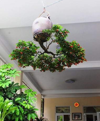 "ngam dan bonsai ""moc nguoc"" cuc doc la cua lao gan xu quang hinh anh 12"