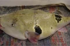 Con cá vừa xấu xí vừa kịch độc có giá gần 7 triệu một miếng bé xíu