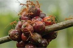 Độc, lạ cà phê kiến: Cầm cốc uống mà tưởng cầm đá quý hiếm trên tay