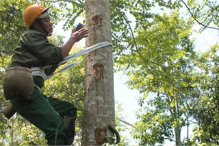 Một tháng lên rừng leo cây, thu về 80 triệu