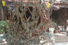 Bộ rễ gỗ trai tiền tỷ tuyệt đẹp của ông chủ thầu Hà Tĩnh