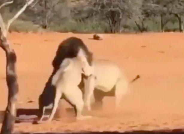 video: su tu kich chien tranh gianh con cai dung cach vai met hinh anh 1