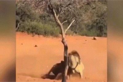 Video: Sư tử kịch chiến tranh giành con cái đứng cách vài mét