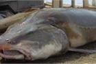 Bí ẩn về loài cá tầm tiến Vua khổng lồ nặng cả tấn, sắp tuyệt chủng