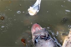 Quá lạ ở Cần Thơ: Đút từng thìa cơm cho cá ăn như đút cho em bé