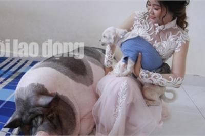 Trước khi về nhà chồng, cô dâu chăm lợn 160kg trong phòng