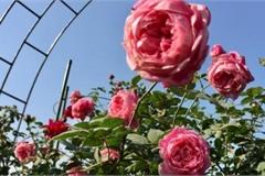 Lịm tim trước thiên đường hoa hồng của vợ chồng Hải Phòng