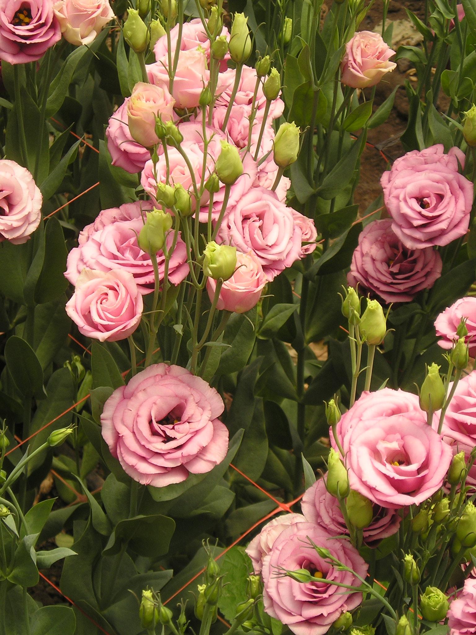 9 loai hoa dat nhat hanh tinh, co loai den vang 9999 cung khong la gi hinh anh 19