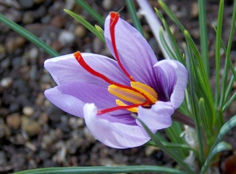 9 loai hoa dat nhat hanh tinh, co loai den vang 9999 cung khong la gi hinh anh 16