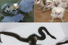 """Chim mặt khỉ, cá ăn bằng thìa và những """"quái vật"""" độc nhất đất Việt"""