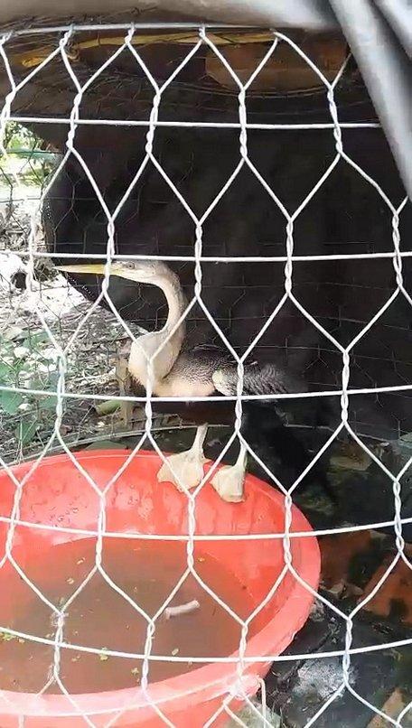 """Chim mặt khỉ, cá ăn bằng thìa và những """"quái vật"""" độc nhất đất Việt Chim-mat-khi-ca-an-bang-thia-va-nhung-bat-duoc-con-chim-la-chan-co-mang-boi-loi-nhu-vit--1575531961-width456height806"""