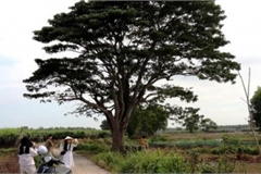 'Cây cô đơn' lên phim 'Mắt biếc' là loài cây gì