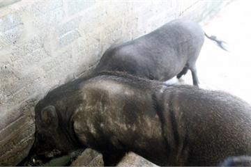 Cho lợn rừng ăn 'chè khổng lồ', lãi 300 triệu đồng mỗi năm