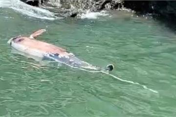 Cá heo Lưng Gù quý hiếm dạt vào vùng biển Cát Bà