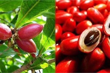 """Việt Nam có loại """"quả thần"""": ăn vào thì dù nếm vị gì cũng ra vị ngọt"""
