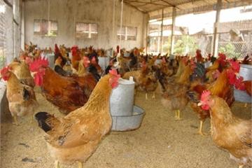 HTX Gà đồi Phú Khê tiên phong nuôi gà sinh học, bao tiêu sản phẩm, góp phần xây dựng nông thôn mới