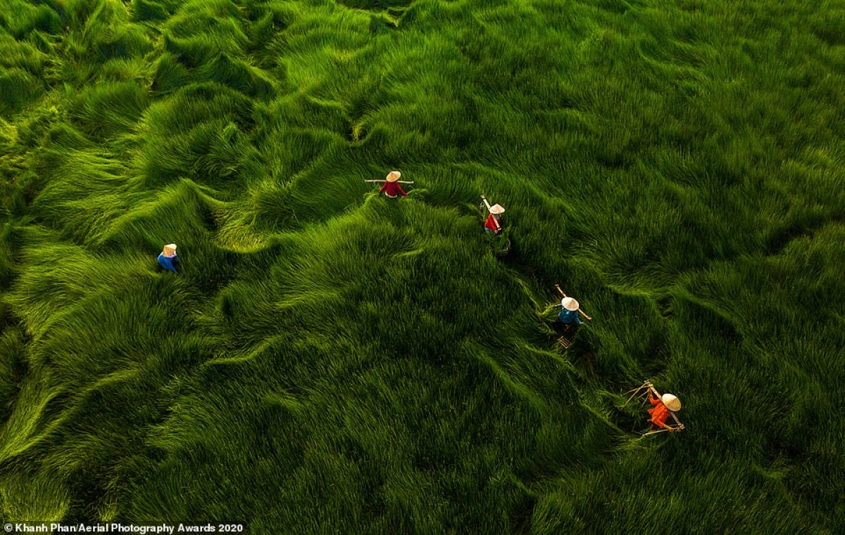 In this mesmerising image shot by Khanh Phan in the nation, a field of grass with leaves stood over one-metre high appears like waves. According to the photographer, the field is the habitat of animals such as snakes, frogs, and fish, with the grass cut in order to feed cattle.