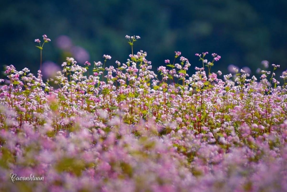 Buckwheat flowers can be seen in full bloom between October and December each year. (Photo: Cao Anh Tuan)